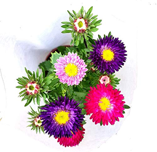 China Aster Flower Mix Seeds 30pcs (Callistephus chinensis) Organic Fresh Premium Facile da coltivare Piante Semi per piantare Giardino Bonsai da esterno