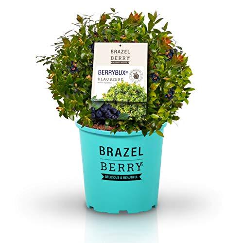 BrazelBerry 'BerryBux' Blaubeere , im 6 Liter Topf , kugelige Buchsbaum-Figur mit zahlreichen kleinen Beeren , Heidelbeere , winterhart , Obst für Garten, Terrasse, Balkon oder Kübel