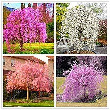 Shopvise 10pcs / Sac japonais Bonsai arbre de Sakura Graines, Weeping Cherry Tree, bricolage jardin nain Sakura Graines Graines de fleurs 1 Belle
