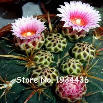 Schwiegermutterstuhl Echinocactus Grusonii supersss Ø 25-30 cm