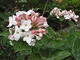 Viburnum carlesii KOREANSPICE Fragrant Blooms Seeds!