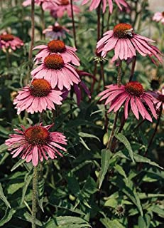 Echinacea (Coneflower) purpurea Bright Star (Leuchtstern) 1,000 seeds