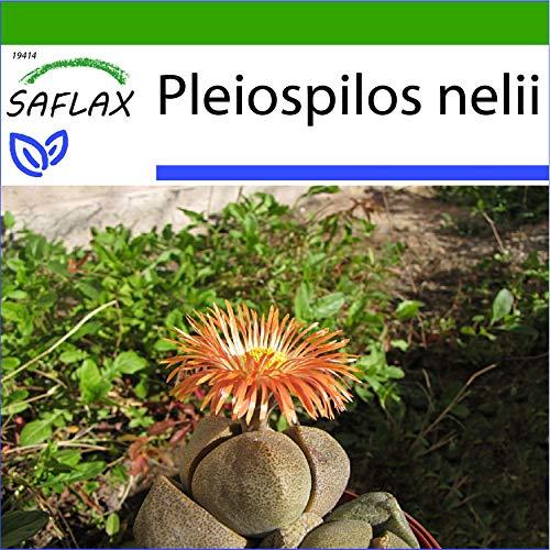SAFLAX - Pleiospilos tricolore - 40 semi - Con substrato - Pleiopilos nelii