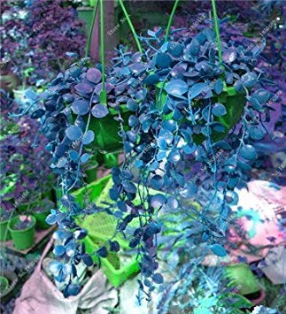 Vista 3: Coloré Hanging Parthenocissus Tricuspidata Graine Plante vivace Plante Pot Plantes Anti Rayonnement Ultraviolet Ray 50 Pcs 3