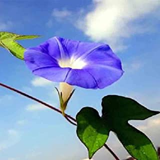 100PCS Thunbergia Erecta Sparky Mix Seeds Bonsai Garden Balcony Greening Design Greening Planting Bonsai Potted Plants