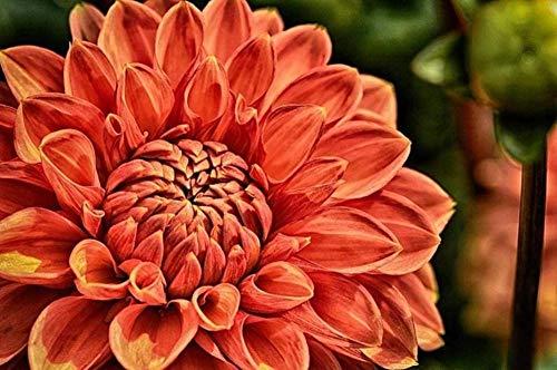JFZJFZ Malen nach Zahlen für Erwachsene und Kinder DIY Ölgemälde Geschenk-Kits Dahlia Pflanze Blumenblüte Blüte 40x50cm