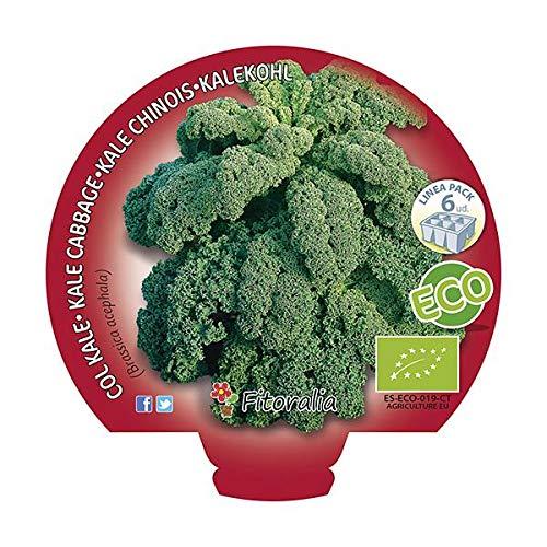 Plantón ecológico de Col Kale Pack 12 ud.