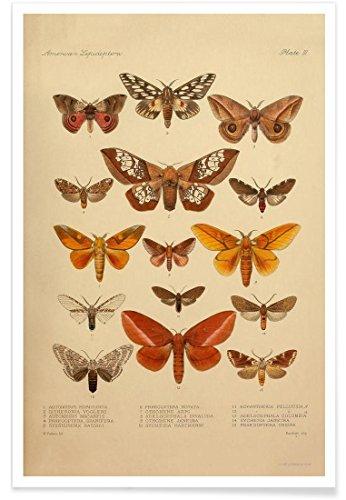 """JUNIQE® Vintage Insekten Poster 20x30cm - Design """"American Lepidoptera, Plate 3"""" entworfen von Vintage Art Archive"""