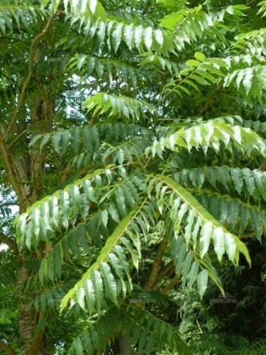 Toona sinensis CHINOIS TOON TREE Seeds! EXOTIQUE!