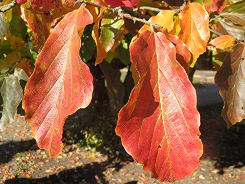 Persischer Eisenholzbaum Parrotia persica ´Persian Spire´ Pflanze 15-20cm