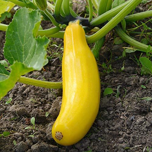 XQxiqi689sy 1 Bolsa De Semillas De Calabacín NON-GMO Garden Use Small White Productive Vegetable Seeds Amarillo Semillas de calabacín