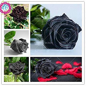 VISTARIC 1: Neue seltene wissenschaftliche Hybriden Sorte !!! 200 PC/bag schwarze Rose Pflanzensamen Topf Haus & Garten Hof 95% überleben Bonsai Blume 1