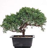 Bonsai - Juniperus chinensis, Chinesischer...