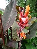 Canna indica - Indisches Blumenrohr' RUSSIAN RED' 2 Rhizom