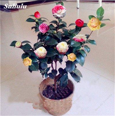 Semillas 100% real de la camelia Flores en maceta de plantas Semillas Bonsai 24 Colores disponibles Casa y Jardín de plantas ornamentales-2 piezas 1