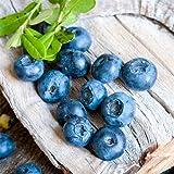 300 piezas de semillas de arándanos perennes lindas mini frutas jugosas plantadas en la granja del jardín cuidado fácil crecimiento rápido amado por la gente