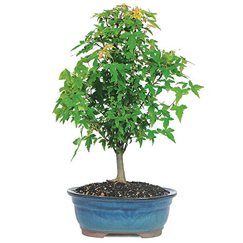 Brussel's Bonsai Live Trident Maple Outdoor Bonsai Tree 5 Years Old 8'-12' Tall with Decorative Container, Medium