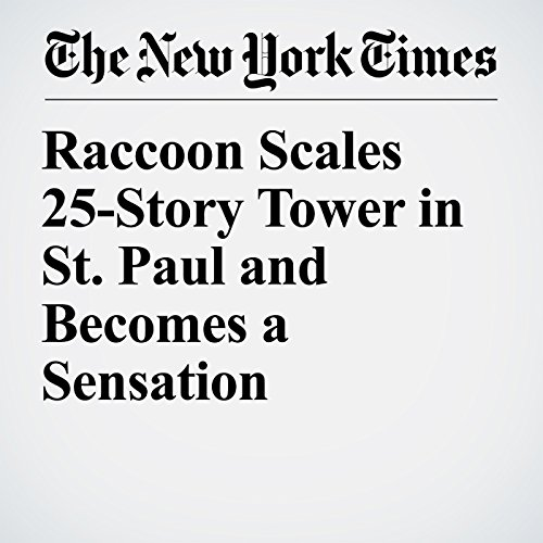 Raccoon Scales 25-Story Tower in St. Paul and Becomes a Sensation copertina