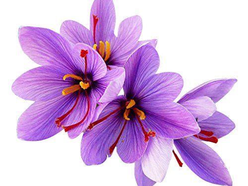 20 Jumbo Saffron Corms - 10 cm - These Crocus Sativus Corms Produce The Saffron Spice