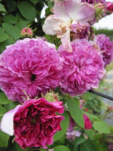 Kletterrose Russeliana XL - Rosa Russeliana® - violettrot - Ramblerrose - Großpflanze - mehrjährige Solitärrose