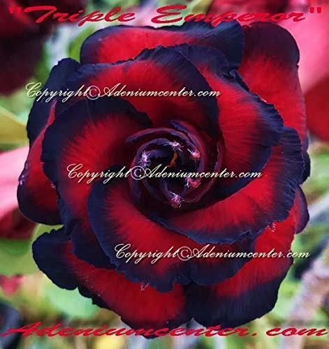 PLAT FIRM GRAINES DE GERMINATION: Adenium obesum ROSE DESERT FLEURS TRIPLE\