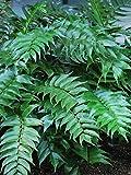 Perennial Farm Marketplace Cyrtomium falcatum 'Rochfordianum' (Japanese Holly) Hardy Fern, Size-#1 Container, Glossy Dark Green Leaves