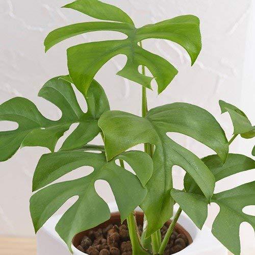 お手入れかんたん観葉植物「ヒメモンステラ(スクエアホワイト)」日比谷花壇