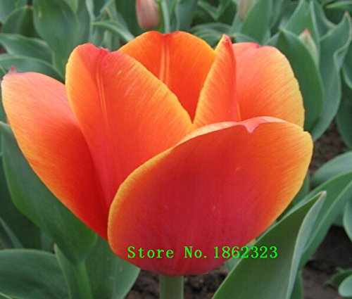 Hot! 500piece 16 ColorsTulip Seeds New Garden Flowers Four Season Semis Monde Graines de fleurs rares pour le jardin
