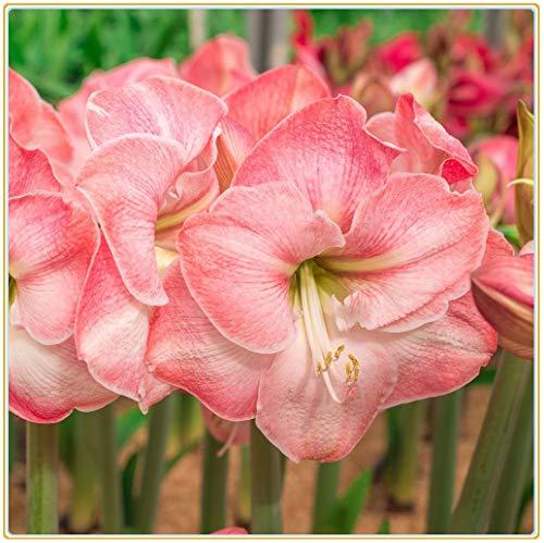 Bulbos verdaderas Amaryllis de los bulbos de flores, bulbos de Bonsai Hippeastrum para el hogar y jardín bulbos de marihuana Barbados flor del lirio/2bulbos-4