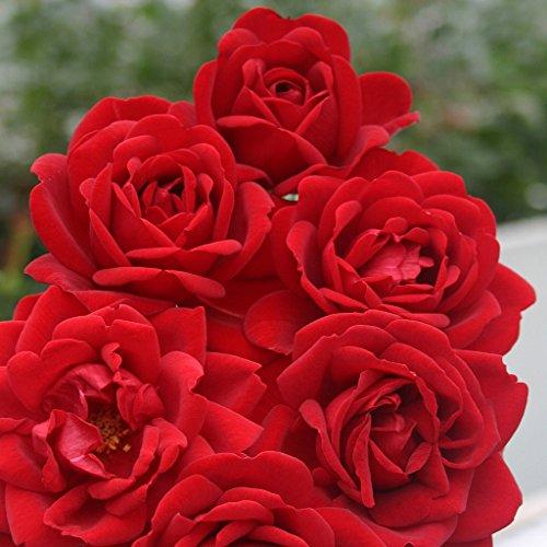 Kordes Rosen Jugendliebe Beetrose, dunkelrot, 12 x 12 x 40 cm
