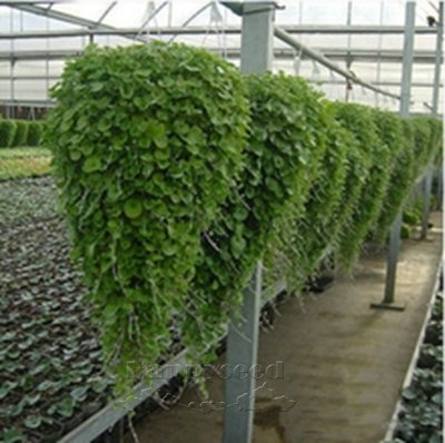 Dichondra Repens pelouse Seed Money Herbe Hanging Garden décoratif fleur pour le cadeau livraison gratuite