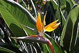 Asklepios-seeds® - 30 Semillas Strelitzia reginae Ave del Paraíso, flor del pájaro