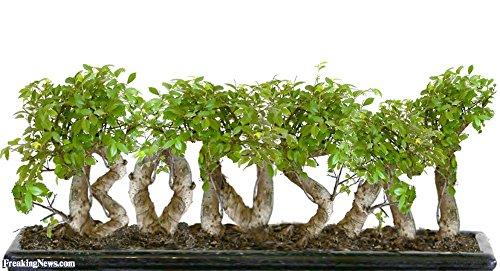 100 arbres bonsaï genièvre Graines de fleurs en pot bonsaï bureau purifient l'air absorbent sans gaz nocifs expédition