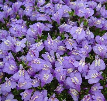 WFW wasserflora Violettes Lippenmäulchen/Mazus Reptans violett im 9x9 cm Topf