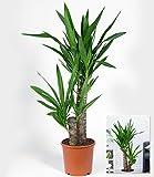 BALDUR-Garten Yucca Palme ca. 70 cm hoch, 1 Pflanze Zimmerpalme Palmlilie - 3