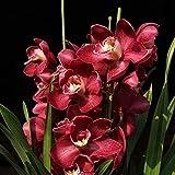 Kisshes Seedhouse - rare 50pcs Graines de Orchidée papillons grainé fleur jardin résistant au froid