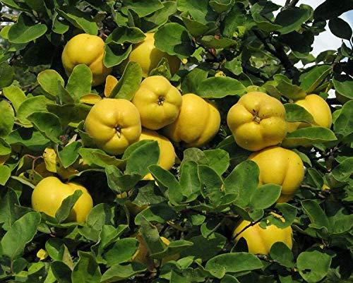 Quitte Cydonia oblonga Pflanze 45-50cm Quittenbaum echte Quitte Obstbaum Rarität