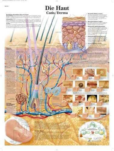 3B Scientific Lehrtafel laminiert - Die Haut