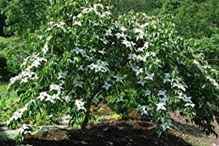 Lustgarten Weeping Chinese Dogwood - 1 Tree in Gallon Pot