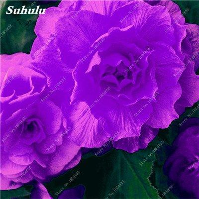 Nouveau! 150 Pcs Begonia Graines Bonsai Graines de fleurs Bonsai Maison & Jardin Flor Plantes en pot Purifier l'Office Air Bureau Fleurs 21