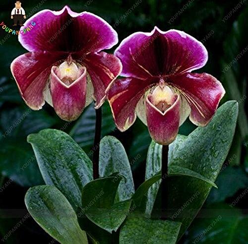 100 Pcs rare orchidée noire Fleurs exotiques graines spieces Orchid Seed Germination 95% Easy Grow Bonsai Seed Maison et jardin