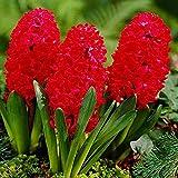 Bulbo Jacinto x3 Jacintos bulbos Bulbos de flores primavera Jacintos Flores rojas Jacinto planta Jan Bos