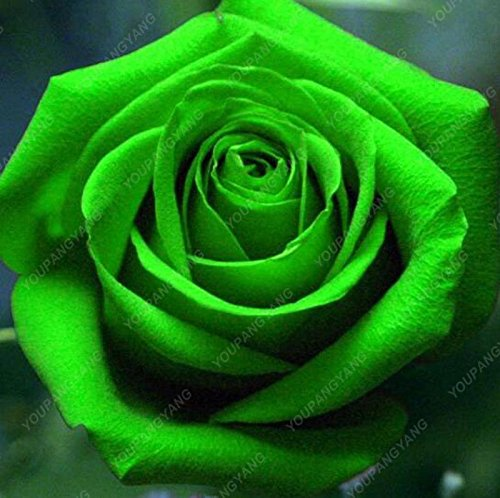 100pcs 20 sortes de graines Rose So Black Rose Charme Bonsai Graines de fleurs vivaces rares fleurs des plantes pour jardin Gris foncé