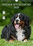 Berner Sennenhund 2020 (Wandkalender 2020 DIN A4 hoch)