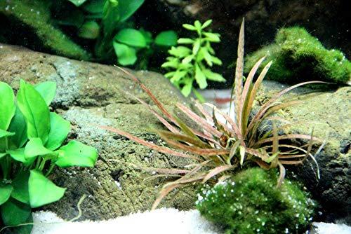 Tropica Aquarium Pflanze Cryptocoryne albida 'Brown Nr.126B Wasserpflanzen Aquarium Aquariumpflanzen