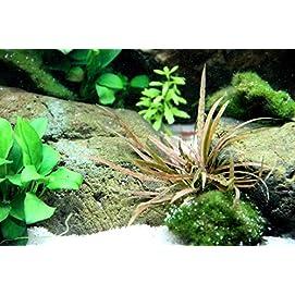Tropica Aquarium Pflanze Cryptocoryne albida 'Brown