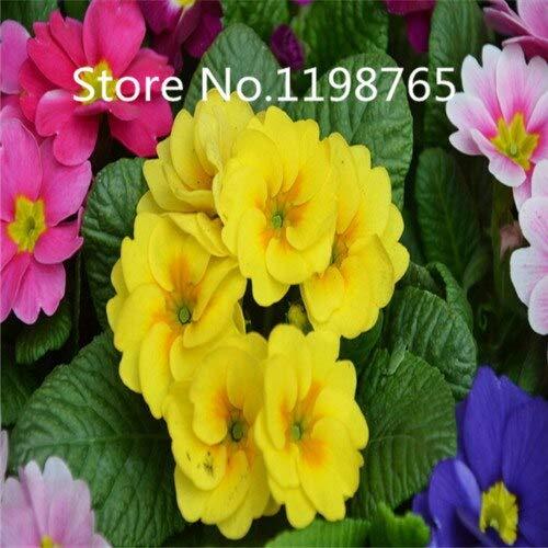 Jaune: Promotion à prix spécial! 300 Primrose Seeds 10 Kinds Emballés Mixtes, Graines De Fleurs Germination Élevée De Jardin De Bricolage Blooming P