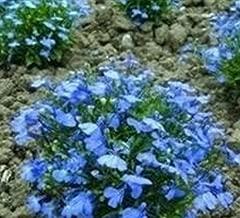 Best trailing lobelia cambridge blue Reviews
