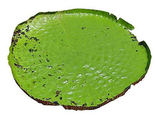 Riesen-Seerose -victoria amazonica- 4 frische Samen-Die größte Seerose der Welt-