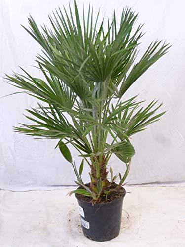 [Palmenlager] - Chamaerops humilis - Zwergpalme - 140 cm // -12°C Frost - Indoor u. Outdoorpalme